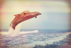 Jumping dolphins, instagram Stock Images