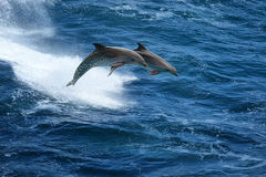 Jumping dolphins in stormy sea. Wild nature background - two jumping dolphins in stormy sea Royalty Free Stock Image