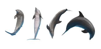 Jumping dolphins on white stock photo