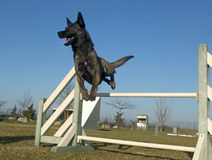 Jumping Dutch Shepherd Dog. In a training of agility royalty free stock photography