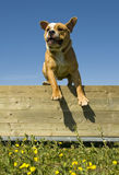 Jumping english bulldog Stock Photography
