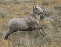 Jumping ewe bighorn sheep over grass and sagebrush Royalty Free Stock Photos