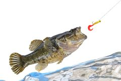 Jumping fish catching a bait. And water wave royalty free stock photos