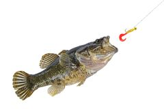 Jumping fish catching a bait. On fishing hook stock image