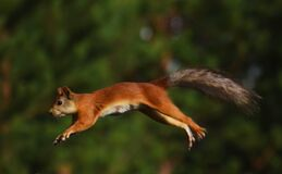 Free Jumping, Flying Squirrel In The Forest Stock Image - 213578111