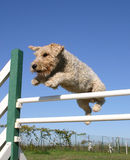 Jumping fox terrier. Jumping purebred fox terrier: cute little dog in agility Stock Images