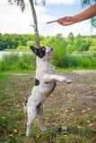 Jumping french bulldog Royalty Free Stock Image
