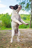 Jumping french bulldog Royalty Free Stock Images