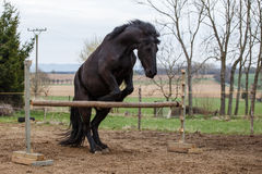 Jumping friesian horse. Equine sport. Photo of jumping friesian horse. Equine sport stock image