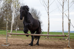 Jumping friesian horse. Equine sport. Photo of jumping friesian horse. Equine sport royalty free stock photo