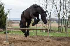 Jumping friesian horse stock photo