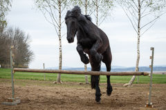Jumping friesian horse. Photo of jumping friesian horse Stock Image