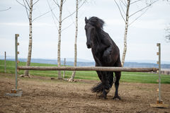 Jumping friesian horse. Photo of jumping friesian horse Royalty Free Stock Images