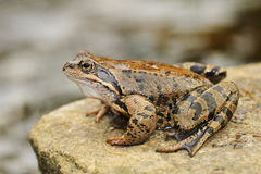 Jumping frog Royalty Free Stock Photography