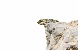 Jumping frog Royalty Free Stock Photos