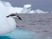 Jumping Gentoo Penguin Stock Photos