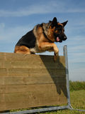 Jumping german shepherd Royalty Free Stock Image