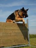 Jumping german shepherd Royalty Free Stock Image