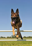Jumping german shepherd Royalty Free Stock Photography