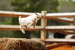 Jumping Goat Royalty Free Stock Photography