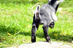 Jumping Goat Stock Photo
