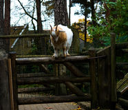 Jumping goat Stock Images