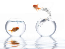 Jumping golden fish royalty free stock images