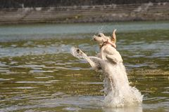 Jumping Golden Retriever. This beautiful dog is jumping out of the water with a lot of drops and splashes around him. Please comment after download royalty free stock photos