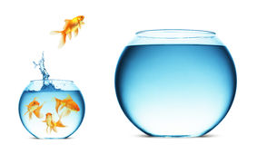 Jumping Goldfish  Stock Image