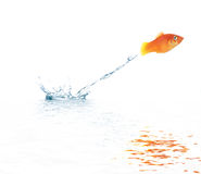 Jumping goldfish Royalty Free Stock Image