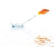 Jumping goldfish royalty free stock image