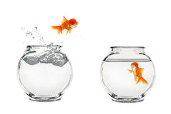 Jumping Goldfish Stock Photo