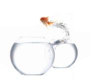 Jumping goldfish royalty free stock photo