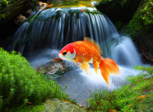 Jumping goldfish. In tropical paradise Stock Photos