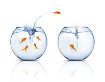 Jumping Goldfishes. A goldfishes jumping out of fishbowl to other fishbowl. White background Royalty Free Stock Photo