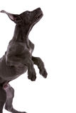 Jumping great dane Royalty Free Stock Image