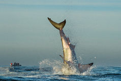Jumping Great White Shark. Tail of the jumped-out white shark (Carcharodon carcharias stock photo