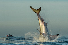 Jumping Great White Shark. Stock Photography