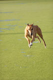 Jumping Greyhound. A tan greyhound running and jumping towards the camera royalty free stock images