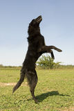 Jumping groenendael Royalty Free Stock Images