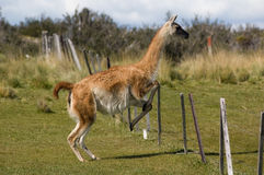 Jumping Guanaco. Guanaco (Lama Guanicoe) jumping over a fence. Torres del Paine National Park, Patagonia, Chile royalty free stock images