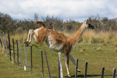 Jumping Guanaco. Guanaco (Lama Guanicoe) jumping over a fence. Torres del Paine National Park, Patagonia, Chile stock photography