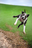 Jumping Happy Dog Royalty Free Stock Image
