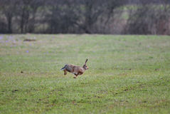 Jumping hare Royalty Free Stock Image