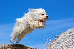 Dog jumping over straw bale Royalty Free Stock Image