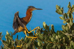 Jumping Heron Royalty Free Stock Images