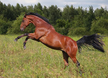 Jumping horse Stock Image