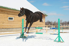 Jumping horse. Dark horse jumps in the winter Royalty Free Stock Photos