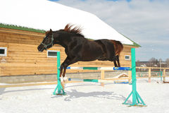 Jumping horse. Black horse in the winter jumps stock image