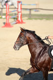 Jumping horse canter across the track Royalty Free Stock Photo